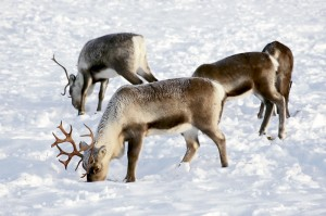 reindeer in natural enviroment in scandinavia